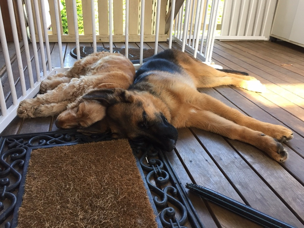 Max-6mth-old-german-shepherd-male-with-his-best-friend