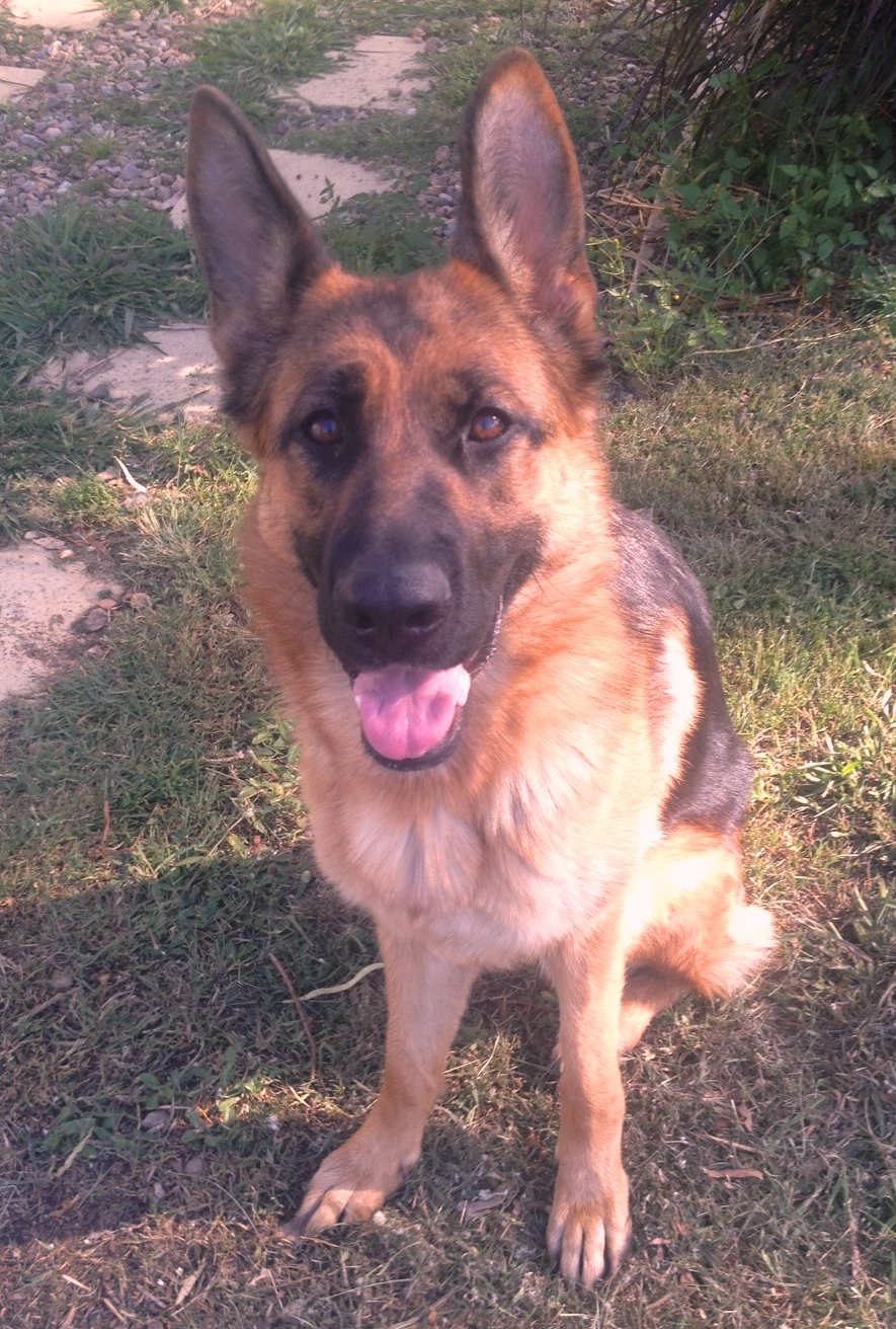 german shepherd female Comet Tango daugher