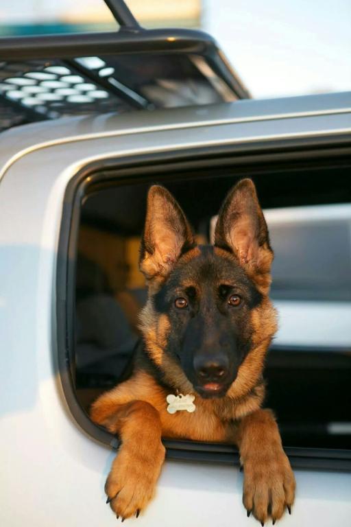 german-shepherd-female-puppy-car-window
