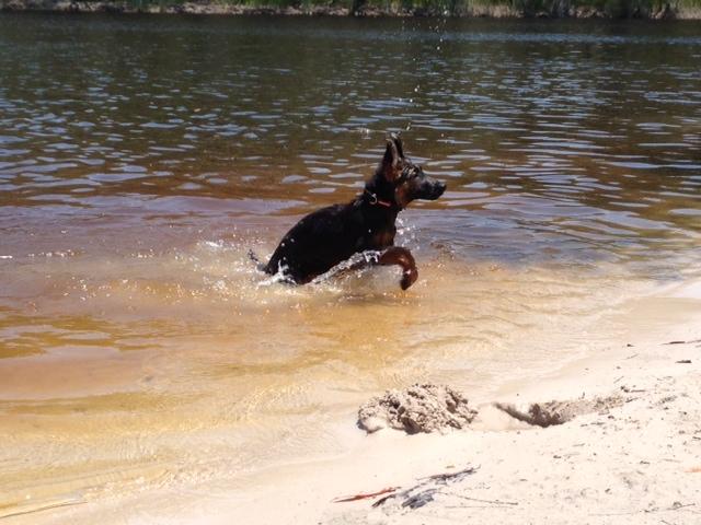 german-shepherd-puppy-playing-on-the-beach-2