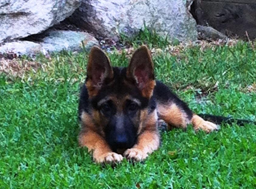 german-shepherd-puppy-so-cute