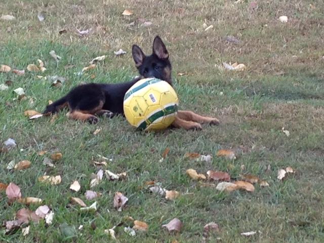 german-shepherd-puppy-with-her-big-ball