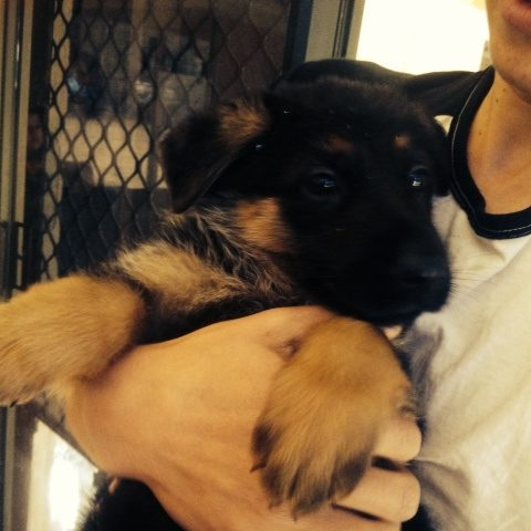 8-week-old-german-shepherd-male-puppy