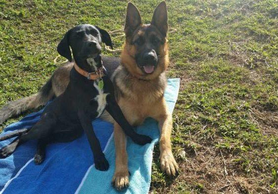German-shepherd-female-growing-up-with-her-best-friend