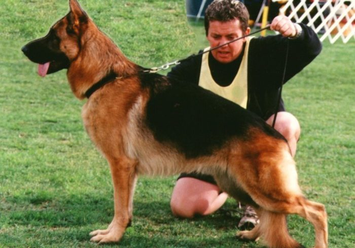 Leishjaclyn-Zpartacus-Boris-5-German-Shepherd-male
