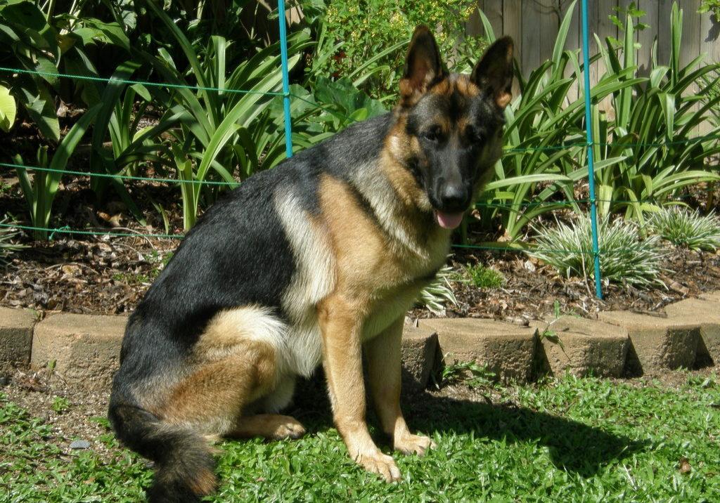 german-shepherd-male-handsome-boy